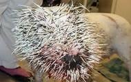The porcupine poking Brian.