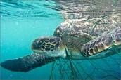 Loggerhead being caught in a net