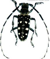 Asian Long Horned Beetle