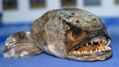 Grotesque image of the snakehead