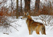 What are Red Wolves?