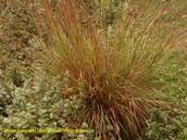 Little Blue Stem Grass