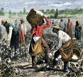 Slaves gathering cotton
