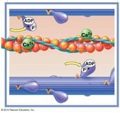 Myosin Reactivation