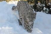Snow Leapard