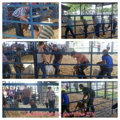 Mexico FFA members showing their goats at the Centralia Fair on 7/8/16.