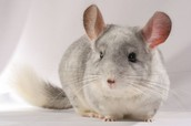 Chinchillas' Type Of Symmetry