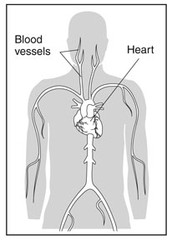 Components of the Cardiovascular System