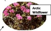 Arctic Wildflower
