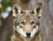 What is being done to protect the Red Wolf?