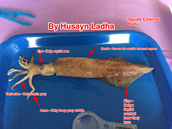 Labeling External parts of the Squid