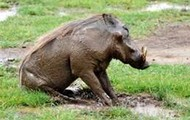 Warthogs are loads of fun