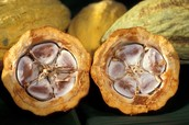 This is cocoa pod cut in half.