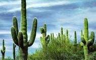 Tall cactuses