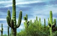 Tall cactuses