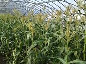 Fully Grown Corn