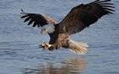 The Bald Eagle catching fish