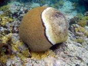 Diseased Coral 1