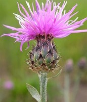 A Spotted Knapweed Flower and Bulb