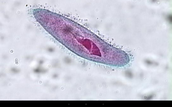 paramecium under a microscope
