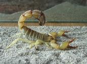 Death-stalker Scorpion