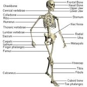 Why do we need the skeletal system?