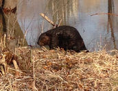 Beaver in his/her habitat!