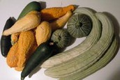 What Types of Squash are Genetically Modified?