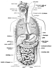 Why is homeostasis and the digestive system important