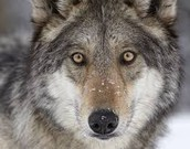 Wolves surving