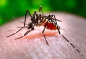 West Nile Virus carrying mosquito