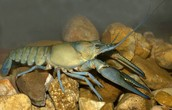 Crawfish Predators and Prey