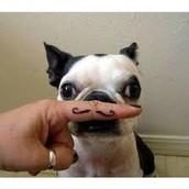 frenchbolldog