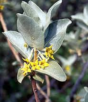 American Silverberry latin name Elaeagnus commutata