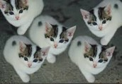 Firsted cloned kittens