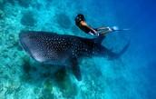 Scuba diver with whale shark in Honduras