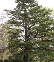 State tree the pine tree