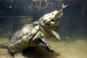 This Is A Carnivore Turtle
