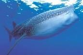 Delfin en peligro