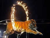 what happends to tigers at the circuses