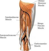 What muscles make up the hamstrings?