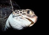 Hook caught in turtles mouth