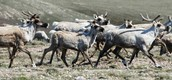 Bluenose West Caribou Herd